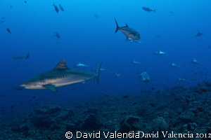 A Tiger sharks leads a school of hammerheads straight to ... by David Valencia 